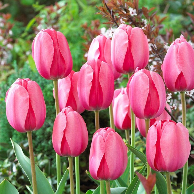 The most popular flower bulbs: how to grow them?