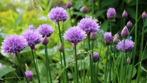 Aromatic plants - How to plant chives