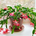 Christmas Cactus Propagation: How to Do It