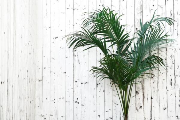 kentia palm care