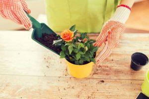 rose bush care