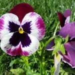 pansy flower care