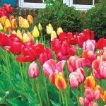 Best spring bulb garden layout with the types of spring bulbs