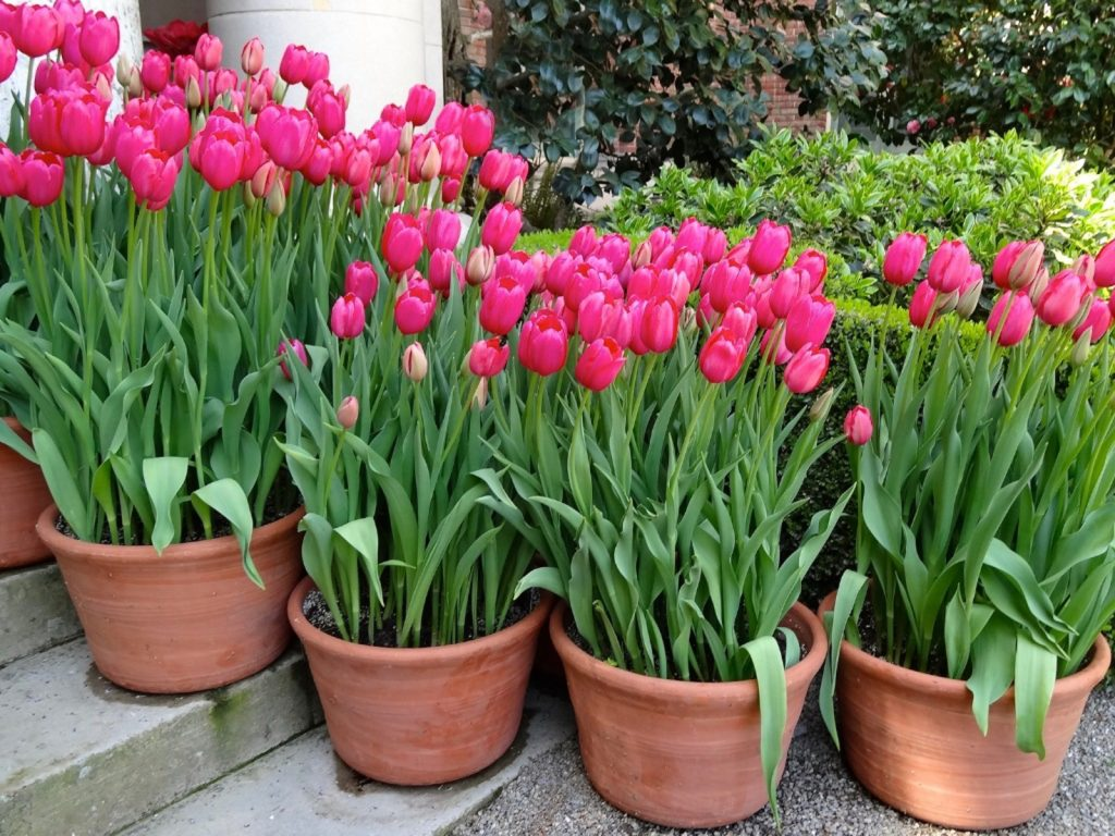 when to plant tulips
