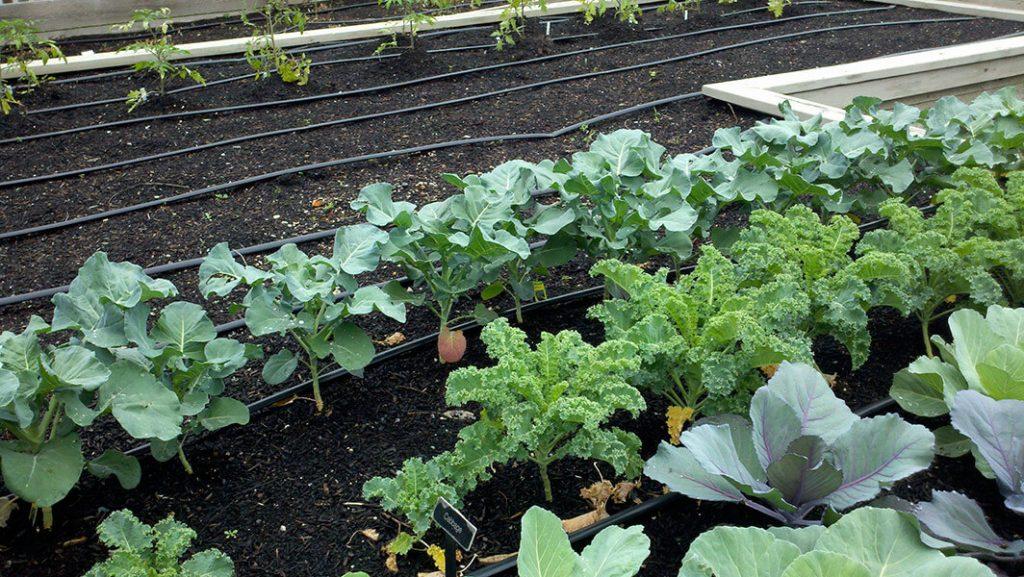 When to plant broccoli