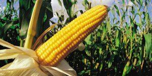 when to grow corn